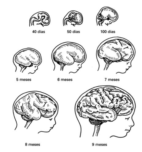 Fuente: Cerebro y aprendizaje: competencias e implicaciones educativas. Autor: Eric Jensen. Ed. Narcea, 2004.