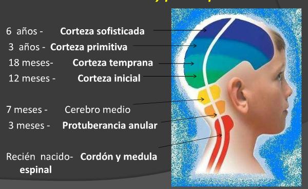 Fuente: El desarrollo cerebral de 0 a los 6 años.