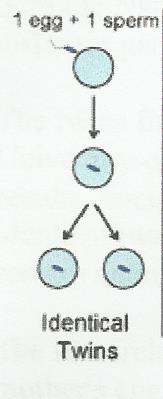 gemelos identicos monozigóticos